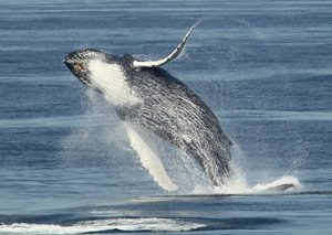 Whale watching in Maine